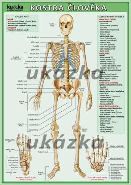 Kostra člověka (oboustranná tabulka, A4)