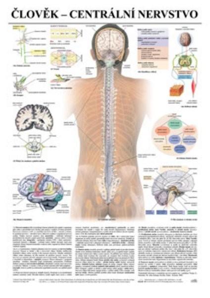 Člověk - centrální nervstvo (nástěnná tabule)