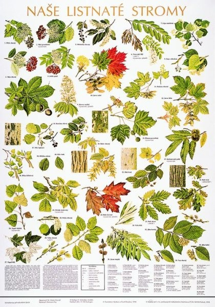Naše listnaté stromy (výuková tabule)