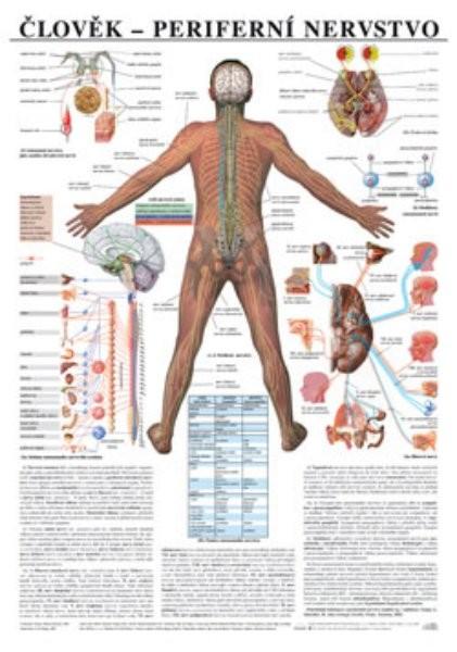 Člověk - periferní nervstvo (nástěnná tabule)