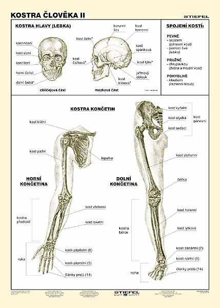 Kostra člověka II (tabulka, A4)