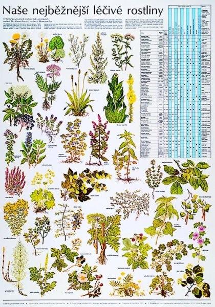 Naše nejběžnější léčivé rostliny (výuková tabule)
