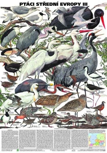 Ptáci střední Evropy III (nástěnná tabule)