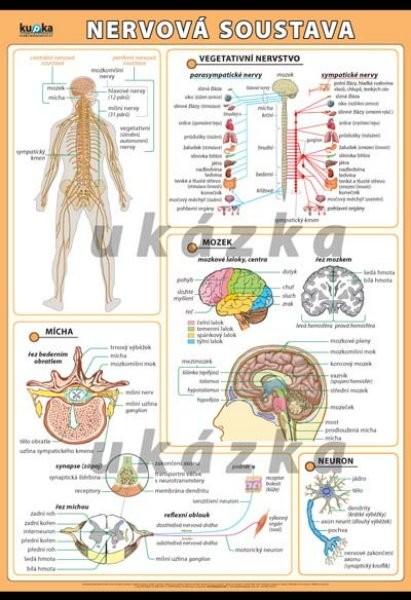 Nervová soustava (nástěnná tabule 100x70 cm )
