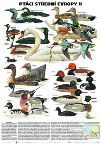 Ptáci střední Evropy II (nástěnná tabule)