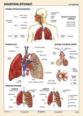 Soustava dýchací (tabulka, A4)