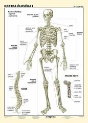 Kostra člověka I (tabulka, A4)