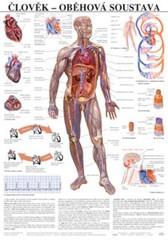 Člověk - oběhová soustava (nástěnná tabule)