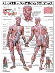 Člověk - pohybová soustava (nástěnná tabule)
