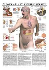 Člověk - žlázy s vnitřní sekrecí (nástěnná tabule)