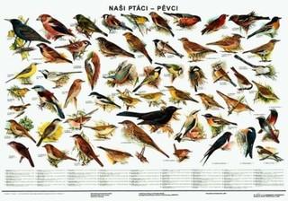 Naši ptáci - pěvci (nástěnná tabule)